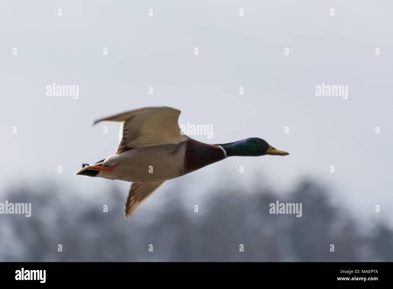 Flying mallard duck in the sky - Stock Image