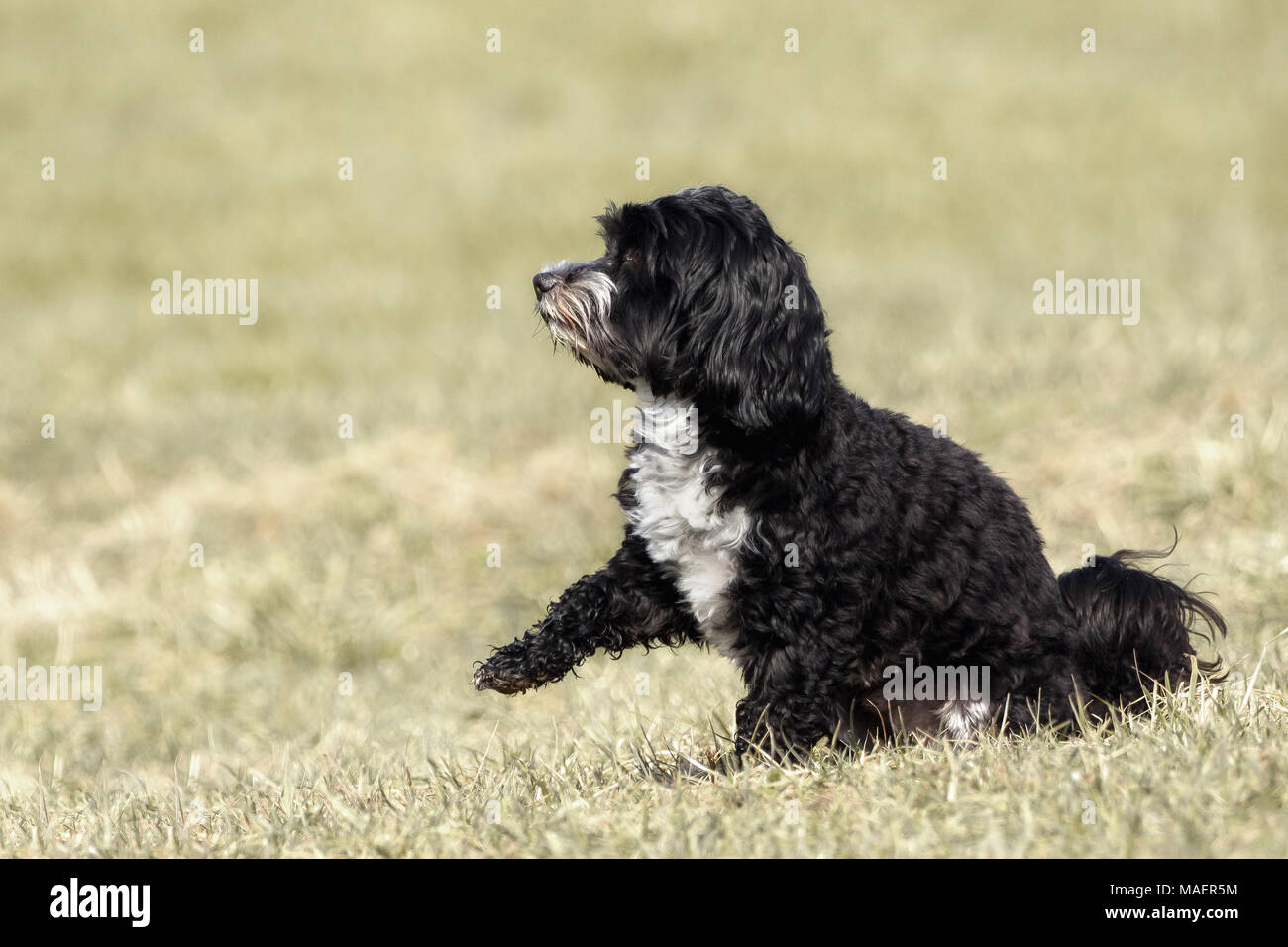 A little Havanese plays outside in the meadow Stock Photo
