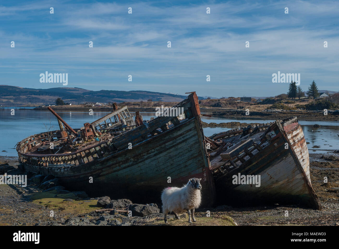A sheep grazes in front of two abandoned fishing boats at Salen on the Isle of Mull Stock Photo