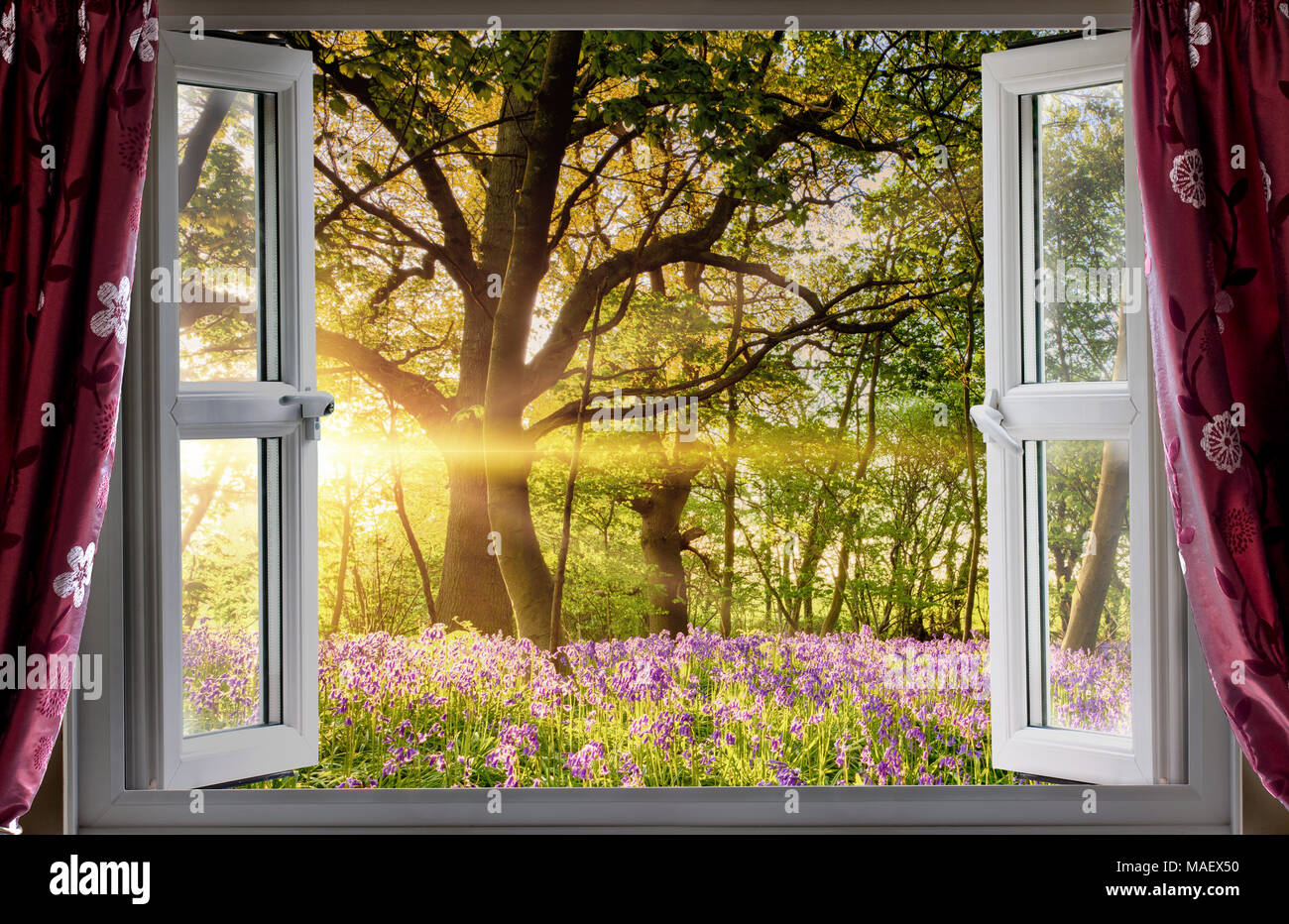 Window open onto bluebell forest woodland sunrise in the morning light. Fresh landscape view from indoors. Stock Photo