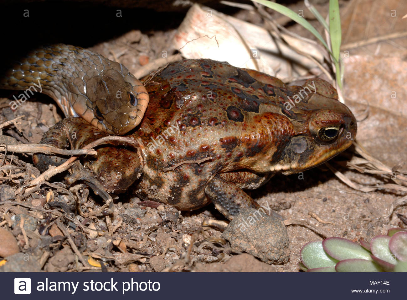 Australian Keel Back (Tropidonophis mairii) trying to eat a large cane toad. Often eating small Cane Toads, these snakes are not effected by the toxin - Stock Image