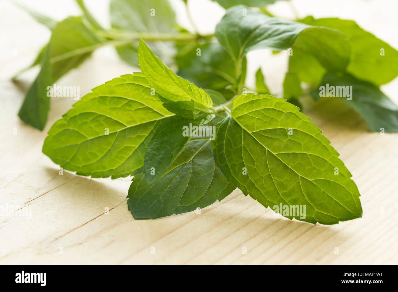 Twig of fresh green chocolat mint close up - Stock Image