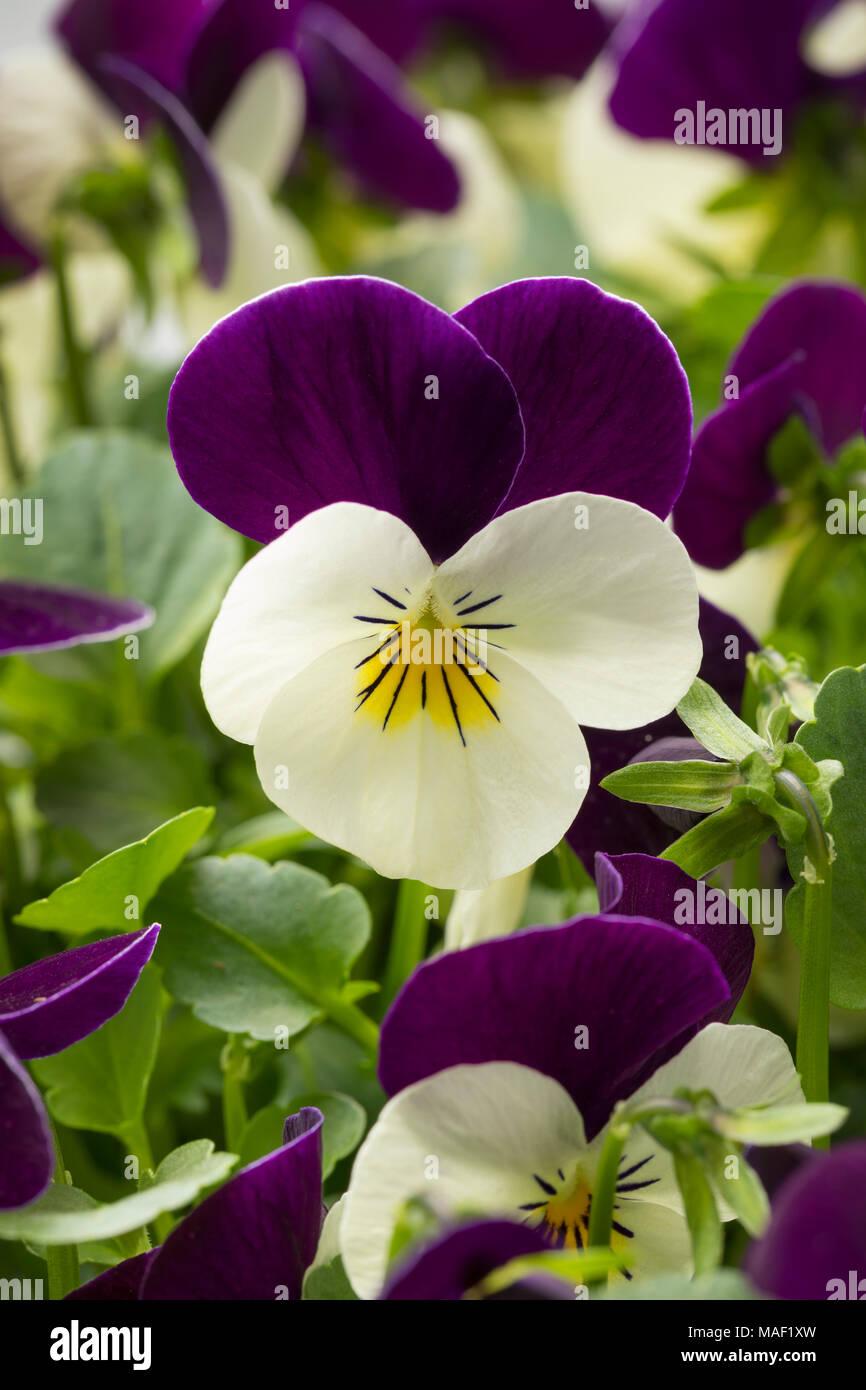 Viola flowers close up - Stock Image