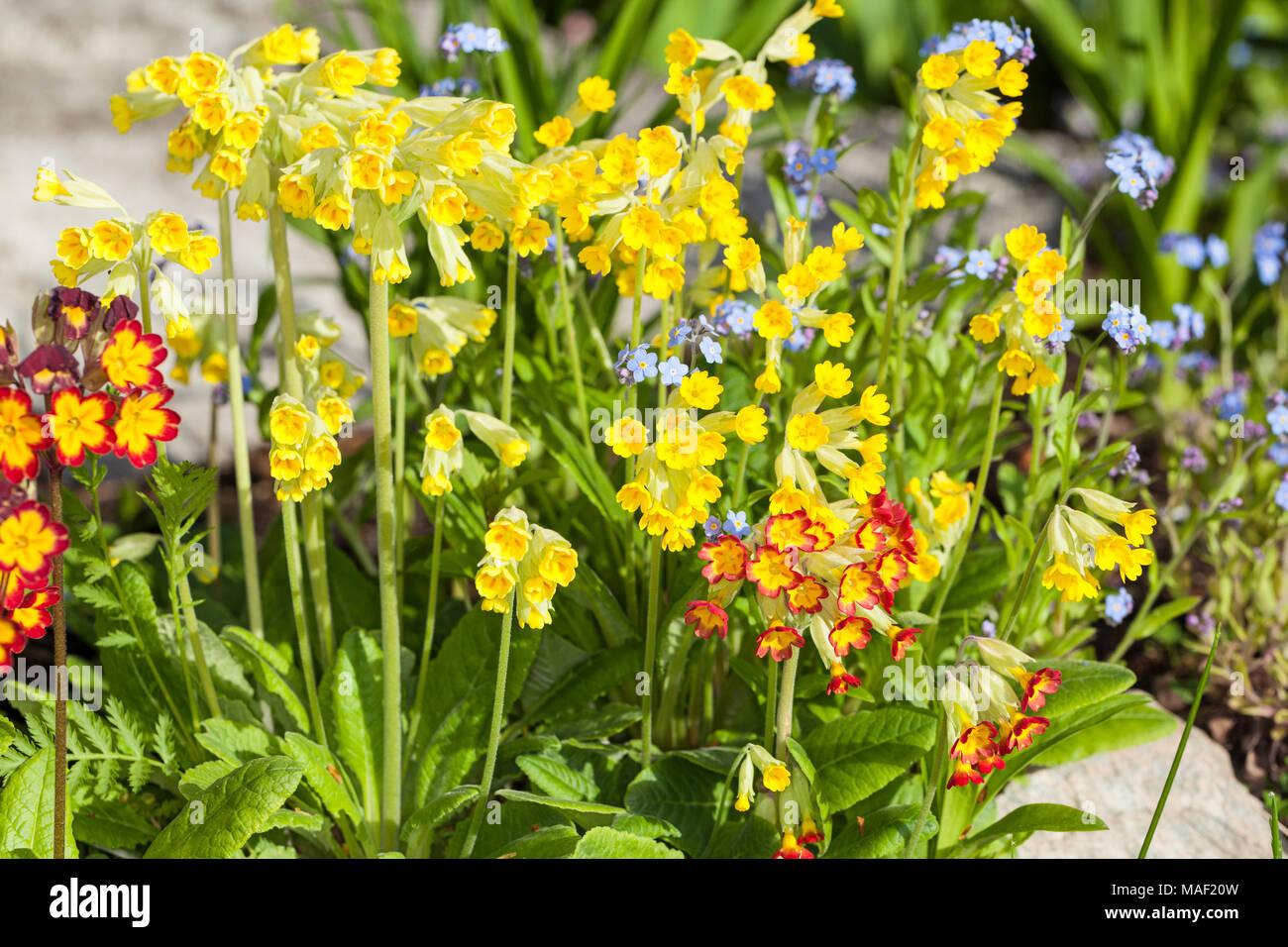Common Cowslip, Gullviva (Primula veris) Stock Photo