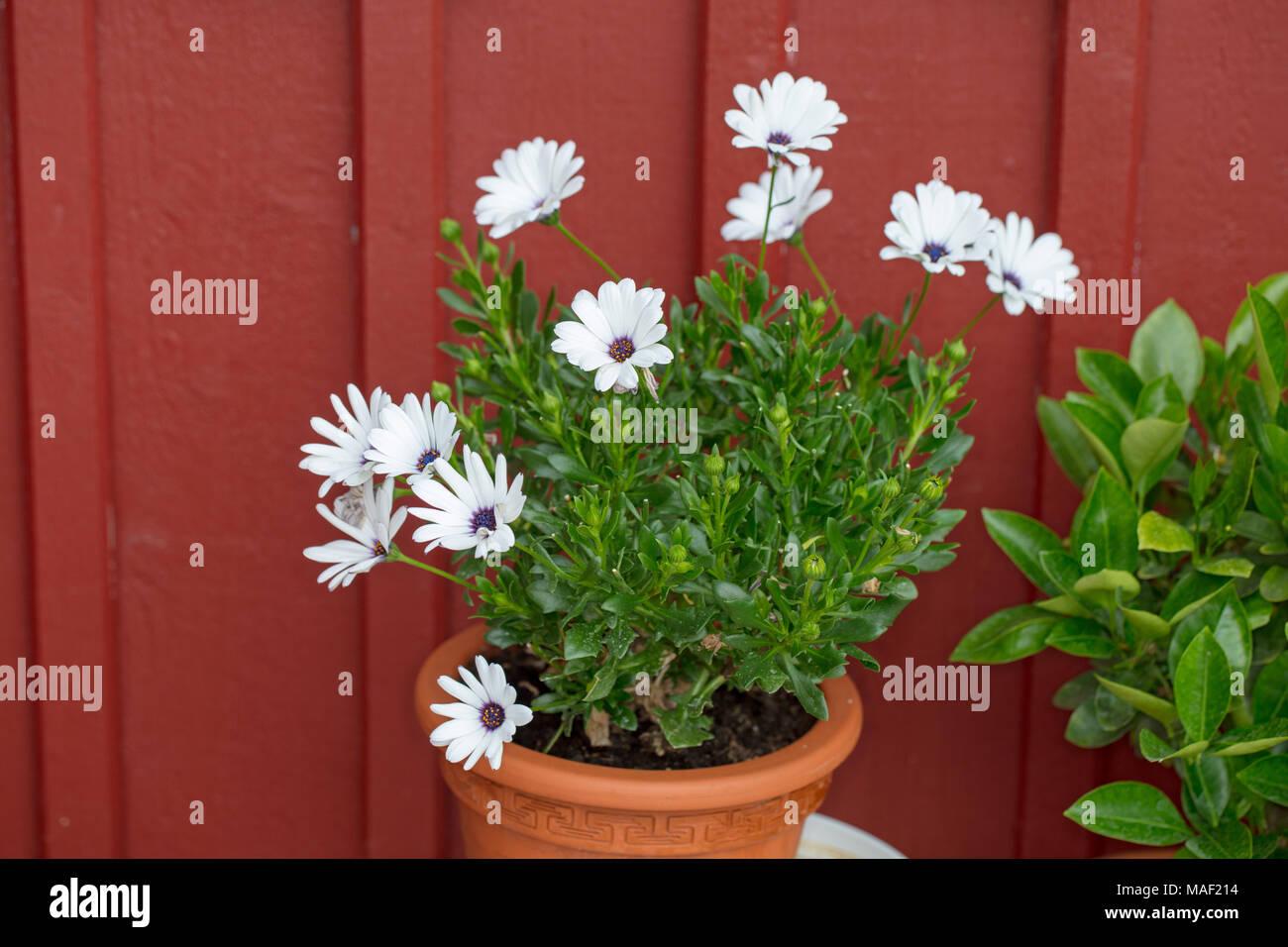 'Vit' Daisybush, Stjärnöga (Osteospermum) - Stock Image