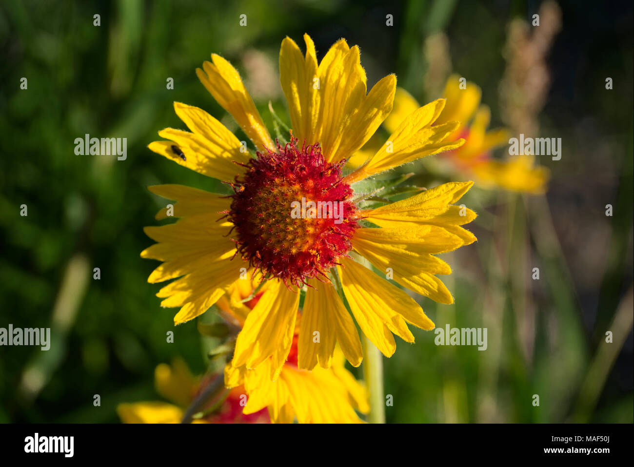 Gaillardia Aristata - Stock Image
