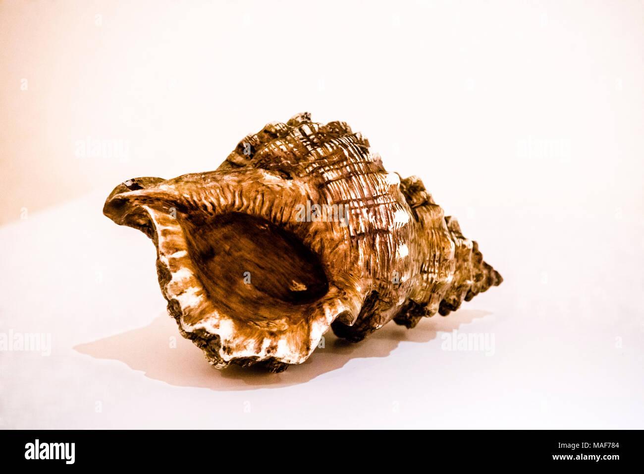 Große braune Muschelschale; sea shell - Stock Image