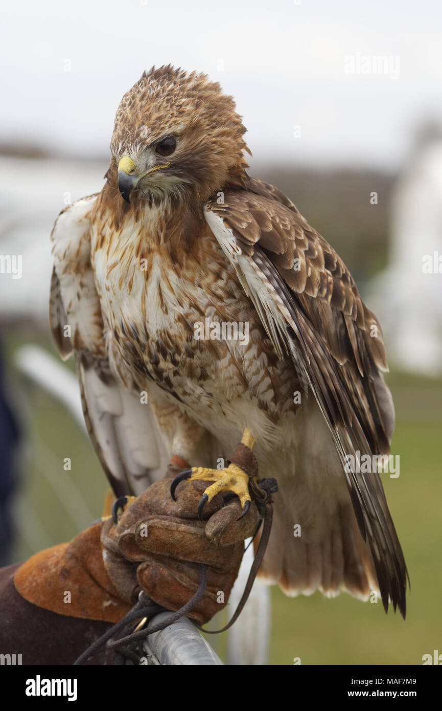 red-tailed hawk, falconry display - Stock Image