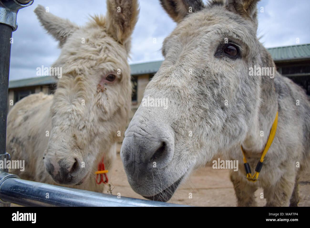 Two donkeys - Stock Image