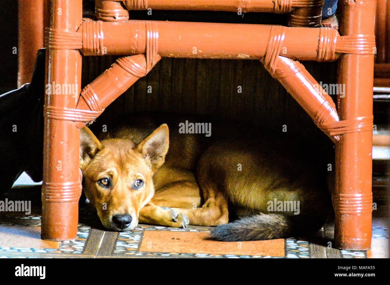 A dog sleeping under a bamboo chair in Bukit Lawang, North Sumatra Indonesia - Stock Image