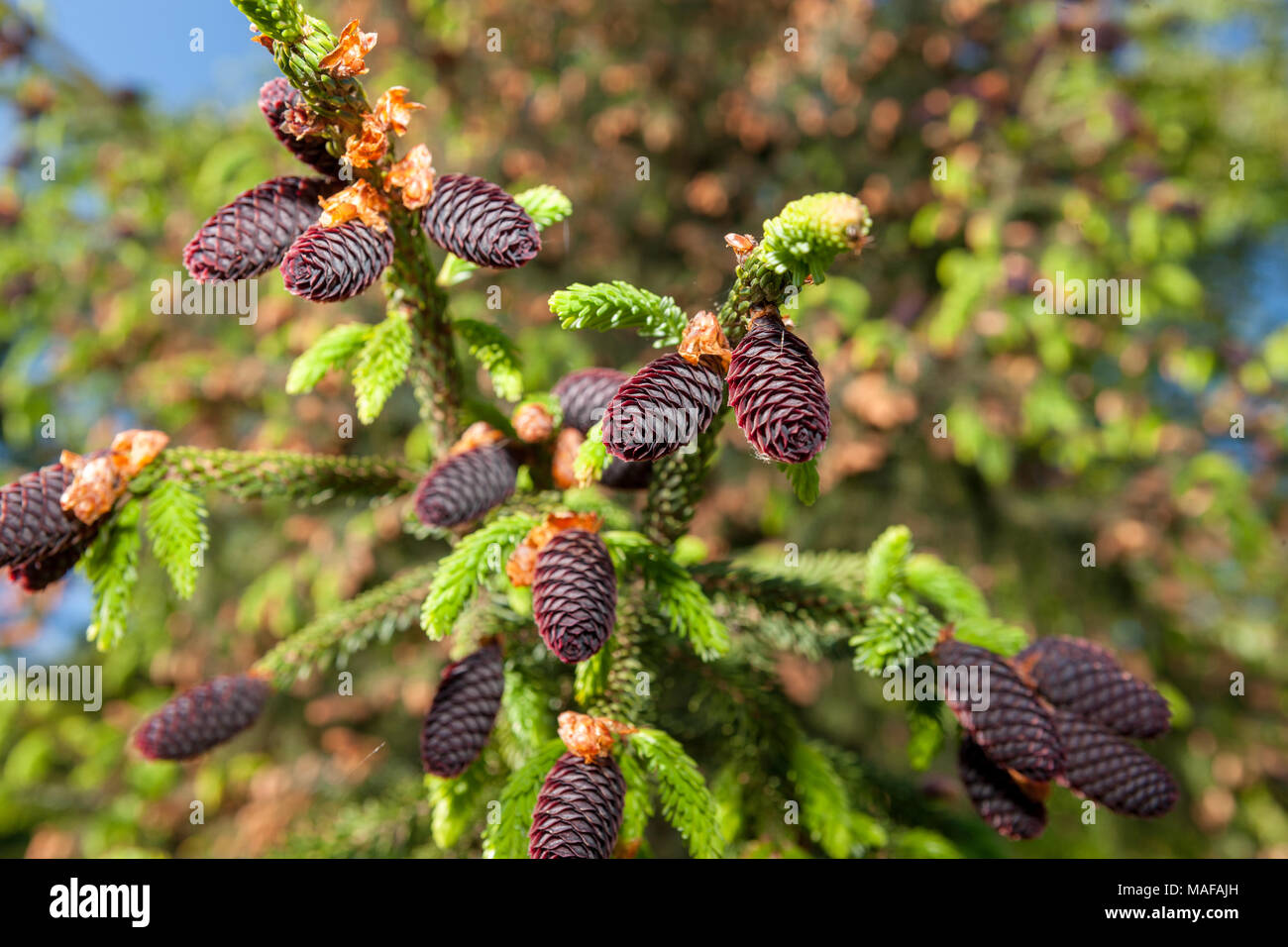 Purple-Coned Spruce, Kinesisk purpurgran (Picea purpurea) - Stock Image