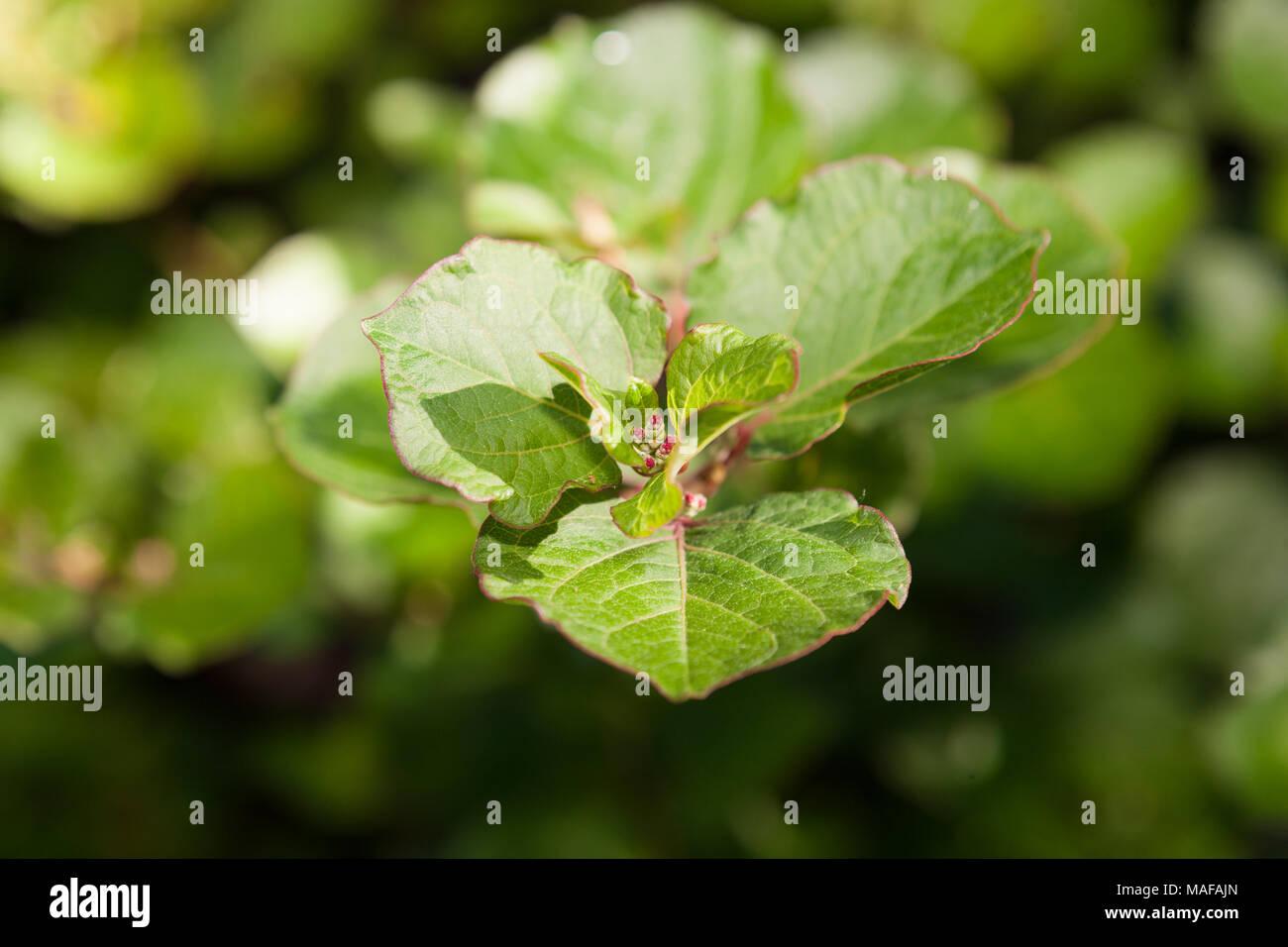 Japanese Knotweed, Parkslide (Fallopia japonica) - Stock Image