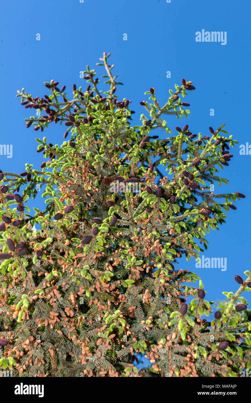 Purple-Coned Spruce, Kinesisk purpurgran (Picea purpurea) Stock Photo