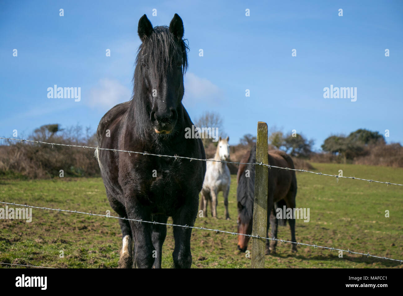 Black stallion behind barbed wire in a field with horses in the background and blue sky - Stock Image