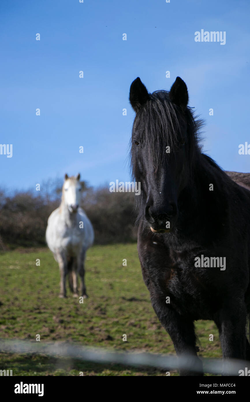 Black horse stallion standing in green field looking at camera with white horse in background also looking forward - Stock Image