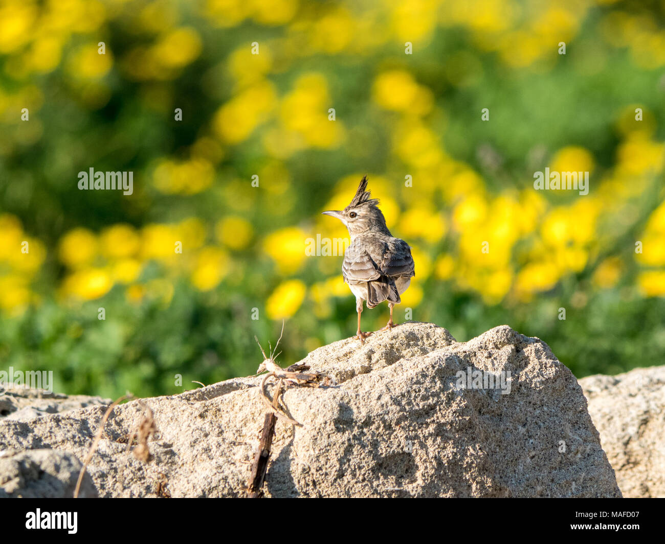 Crested Lark (Galerida cristata) perched on a rock against a backdrop of yellow wildflowers in Cyprus Stock Photo