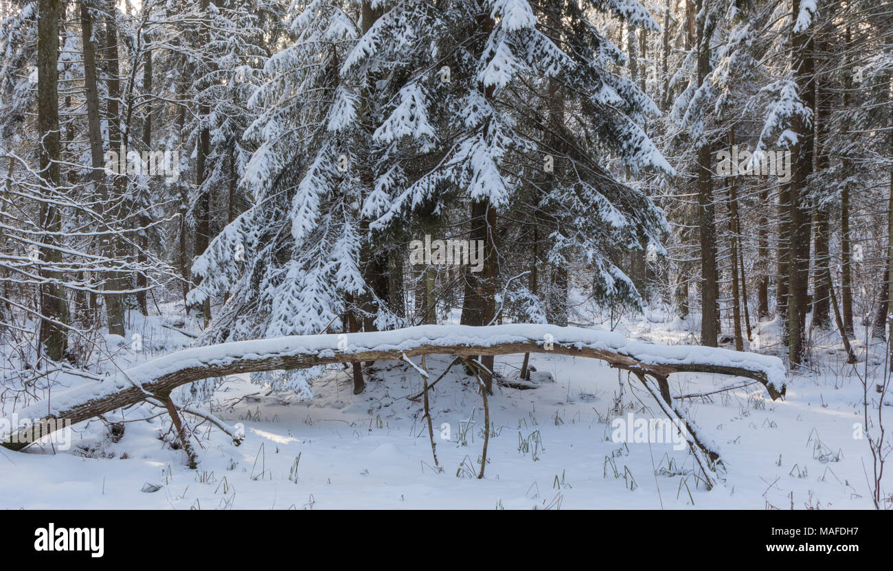 Winter landscape of riparian stand in sunset light with young spruces snow wrapped,Bialowieza Forest,Poland,Europe - Stock Image