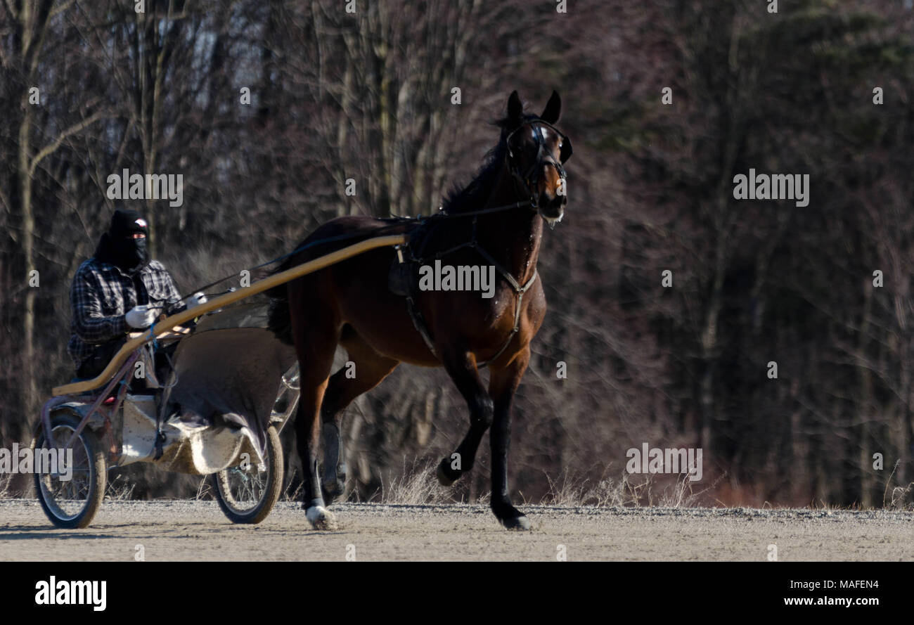 Ontario Standardbreds all tacked up for a run around the track on a bright Saturday morning in Delaware Ontario, Canada. Stock Photo