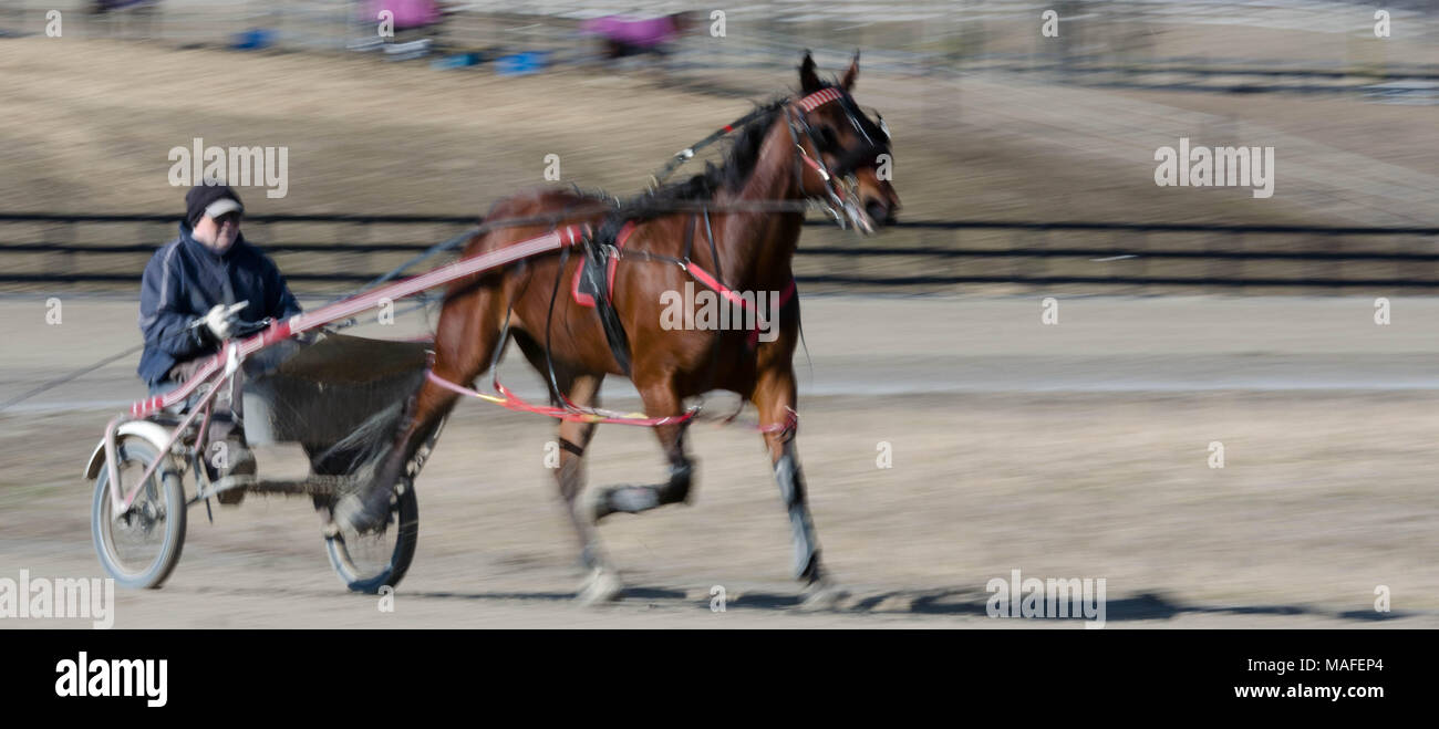 Ontario Standardbreds all tacked up for a run around the track on a bright Saturday morning in Delaware - Stock Image
