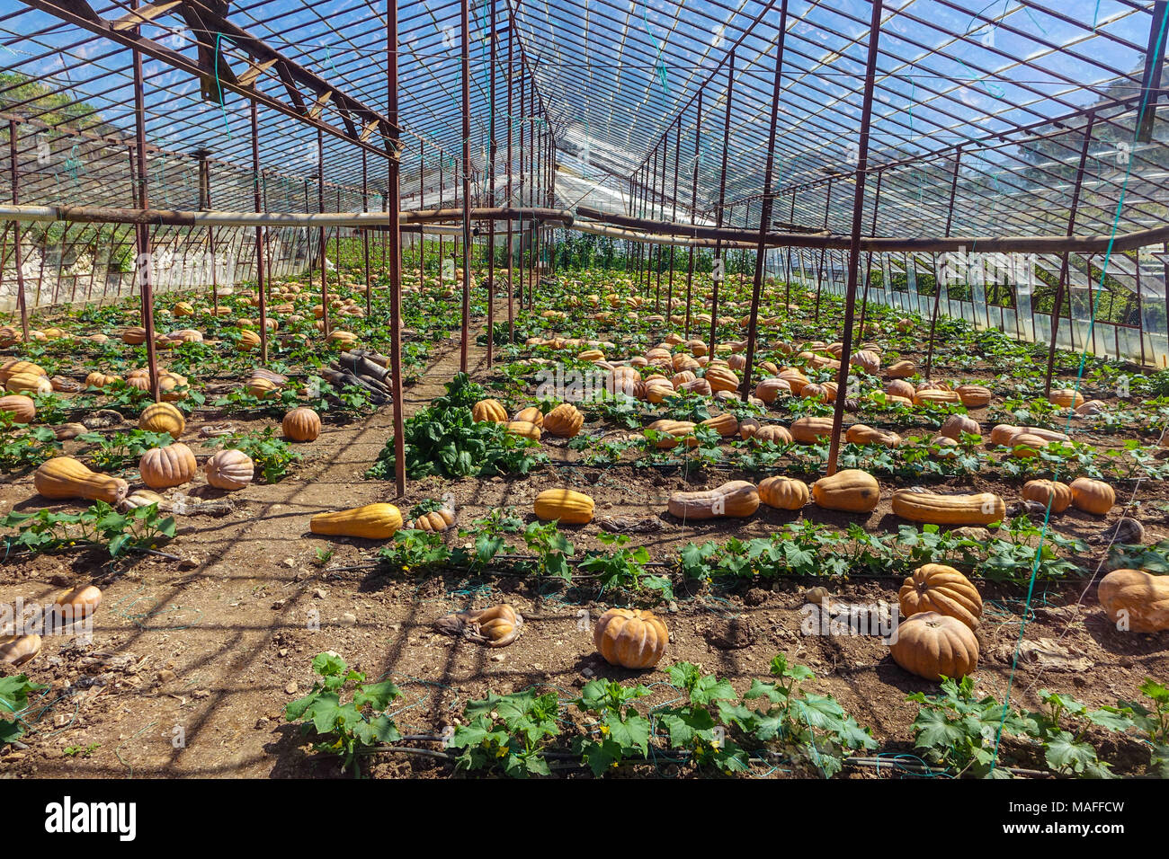 Large ripe pumpkins growing on ground in glass houses, Antalya. Turkey - Stock Image