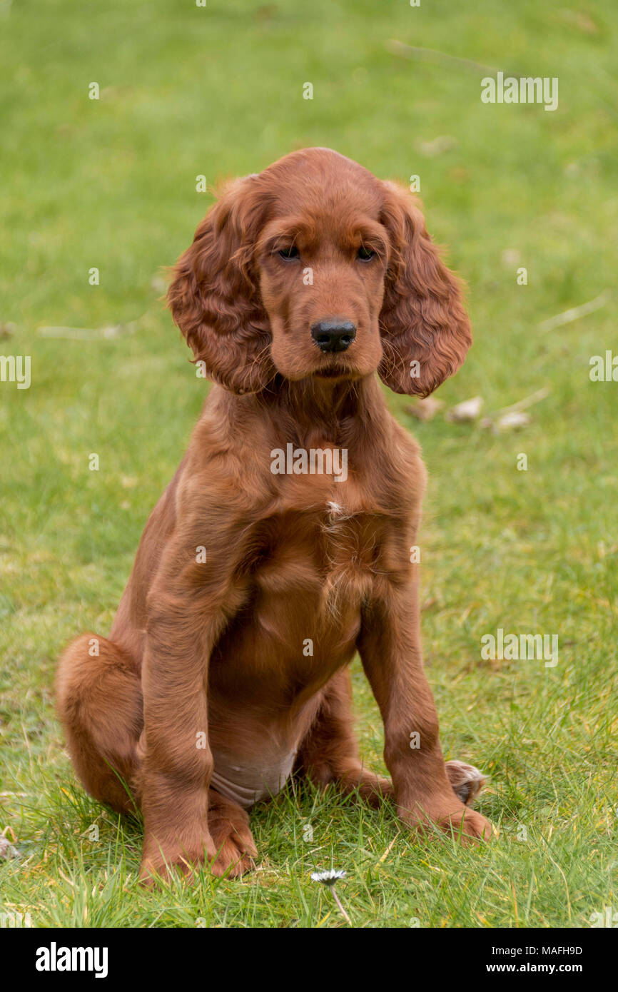 Portrait of a Red Setter / Irish Setter puppy playing in a domestic back garden on grass Stock Photo