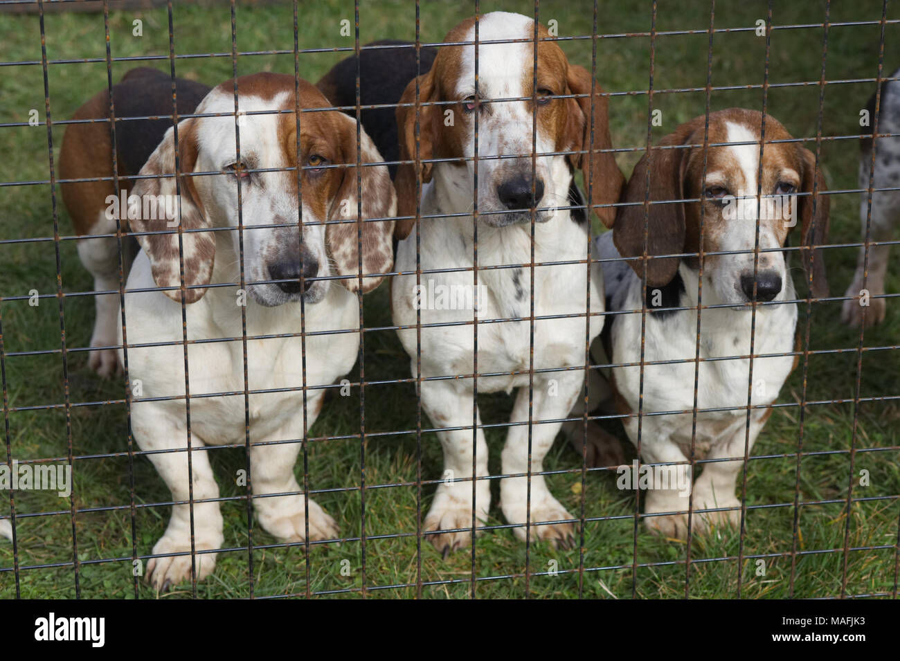 Basset Hounds in a wire cage - Stock Image