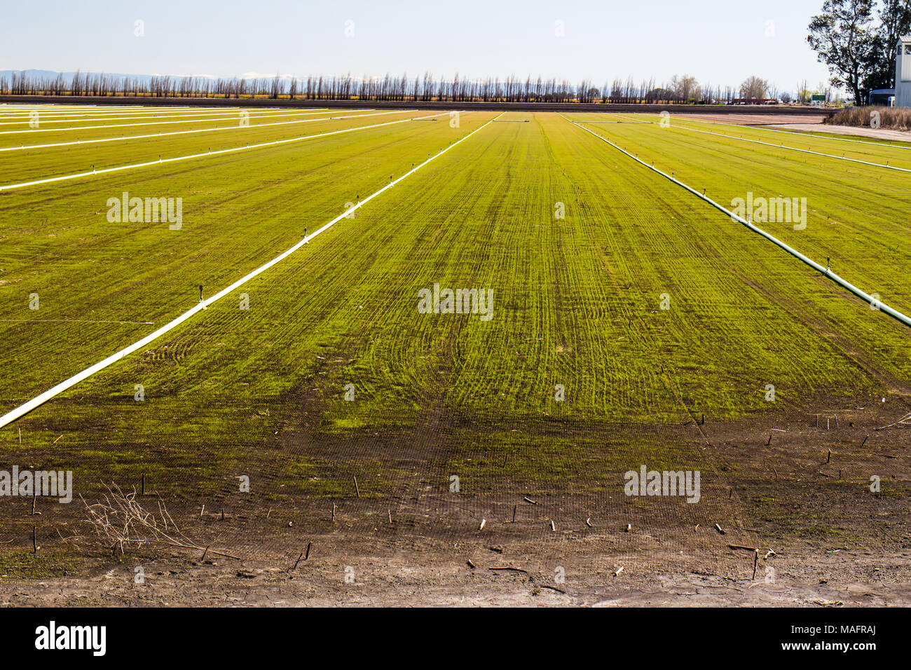 Irrigation Sprinklers & Pipes On Recently Planted Field - Stock Image