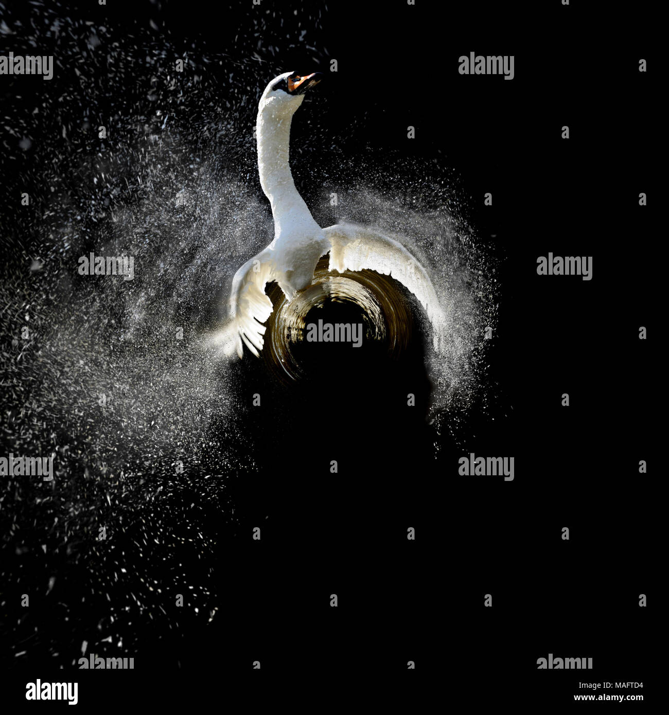 360 degree view of Swan in water and splashing water drops around - Stock Image