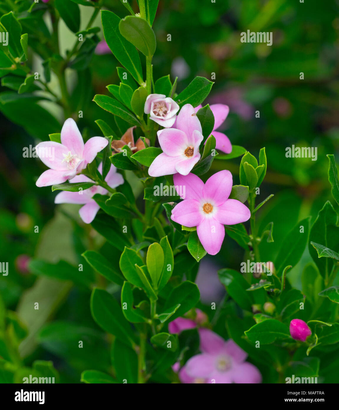 Crowea hybrid 'Poorinda Ecstasy' is a genus of small evergreen shrubs in the plant family Rutaceae sometimes known as Waxflowers - Stock Image
