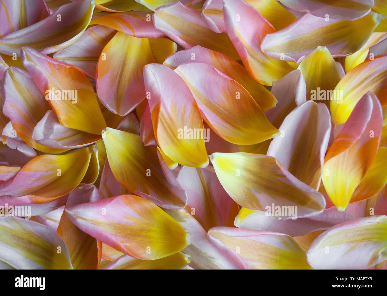 closeup of Dutch tulip petals, colorful spring backdrop Stock Photo