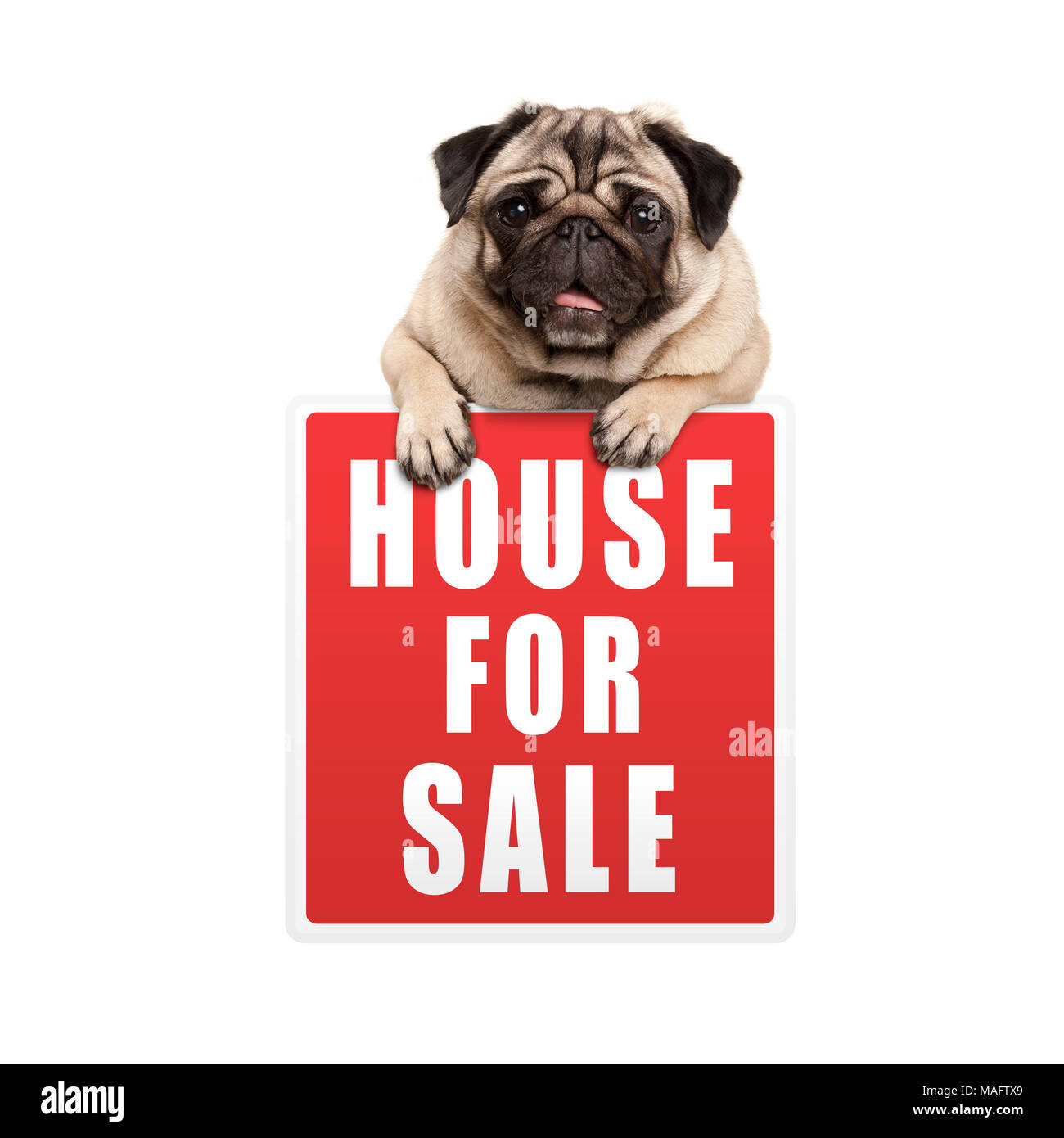 cute pug puppy dog hanging with paws on red house for sale sign, isolated on white background Stock Photo