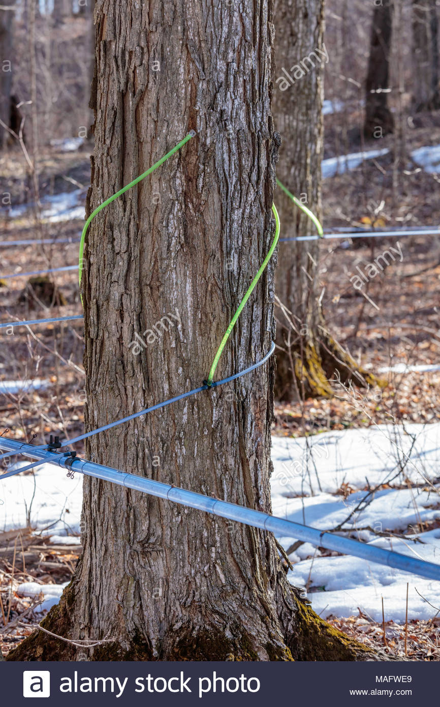 Plastic tubing used to tap and transport sap from a sugarbush in spring in Purple Woods Conservation Area Oshawa Ontario Canada Stock Photo