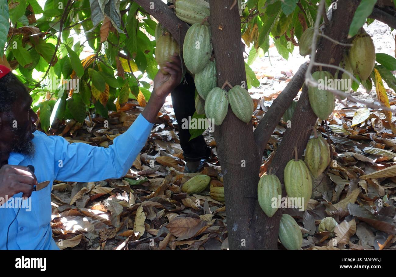 Cocoa Uganda