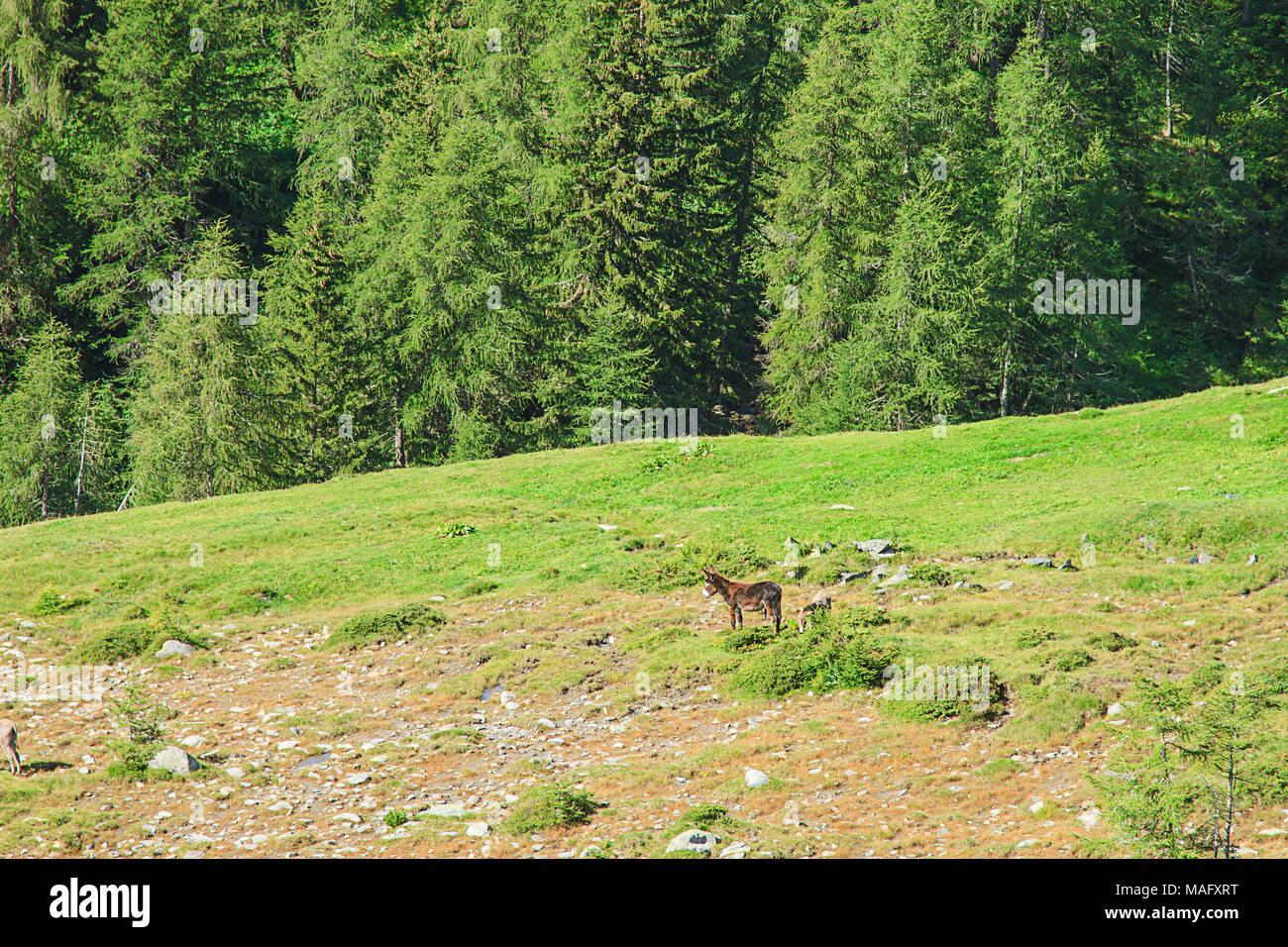 Pass of the cow from Tito Secchi refuge in Valsabbia, Brescia, Italy. - Stock Image