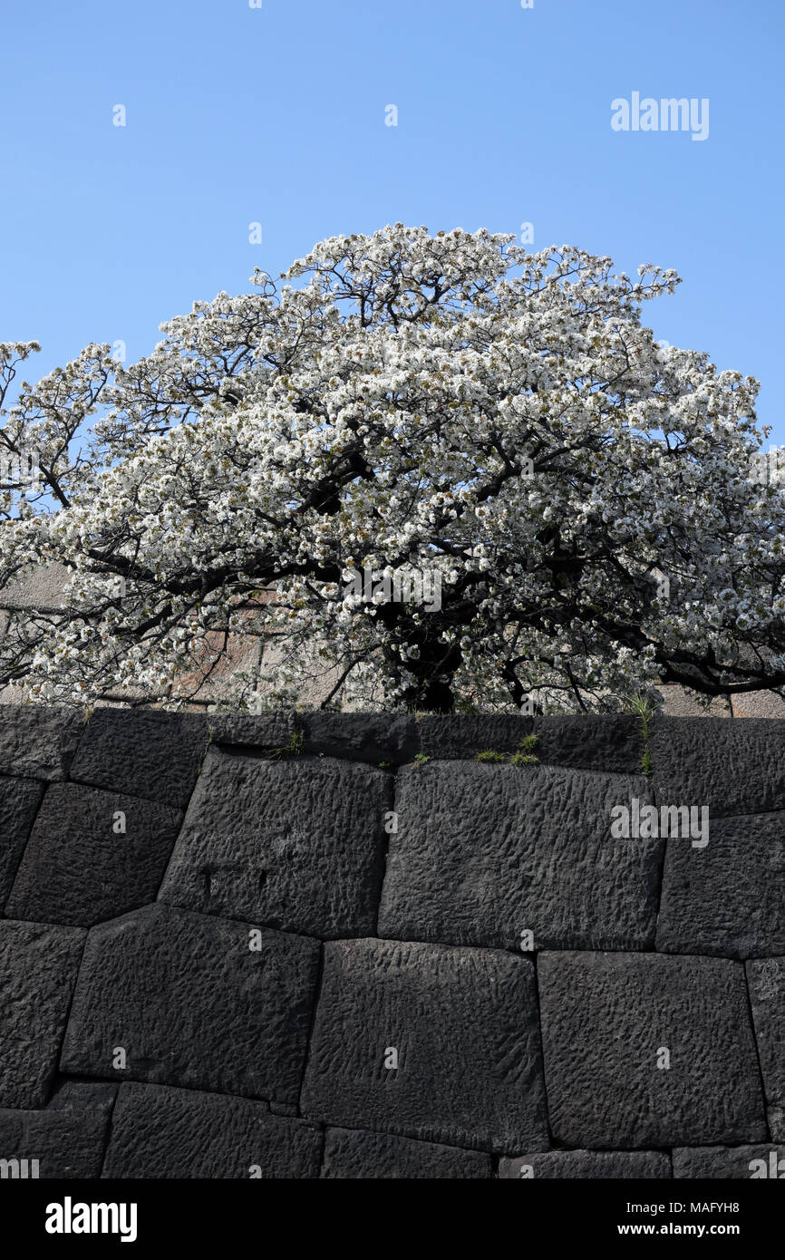 Cherry tree in full bloom on donjon base wall of Imperial Palace, Tokyo, Japan - Stock Image