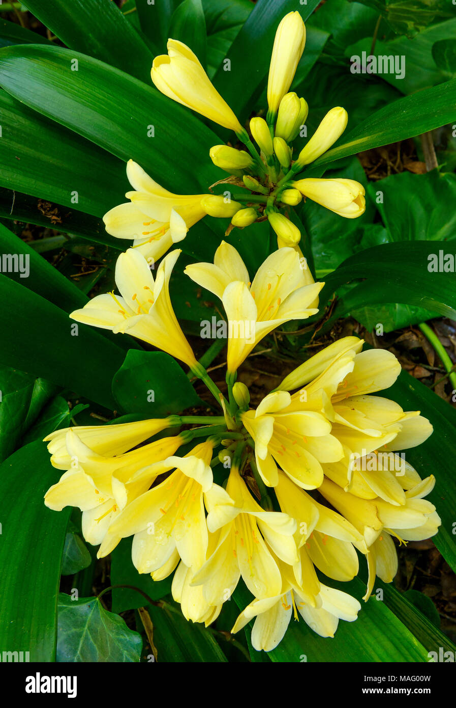 Clivia, Amaryllidaceae, Clivia miniata, Kaffir Lily, Cypress Garden, Mill Valley, California - Stock Image