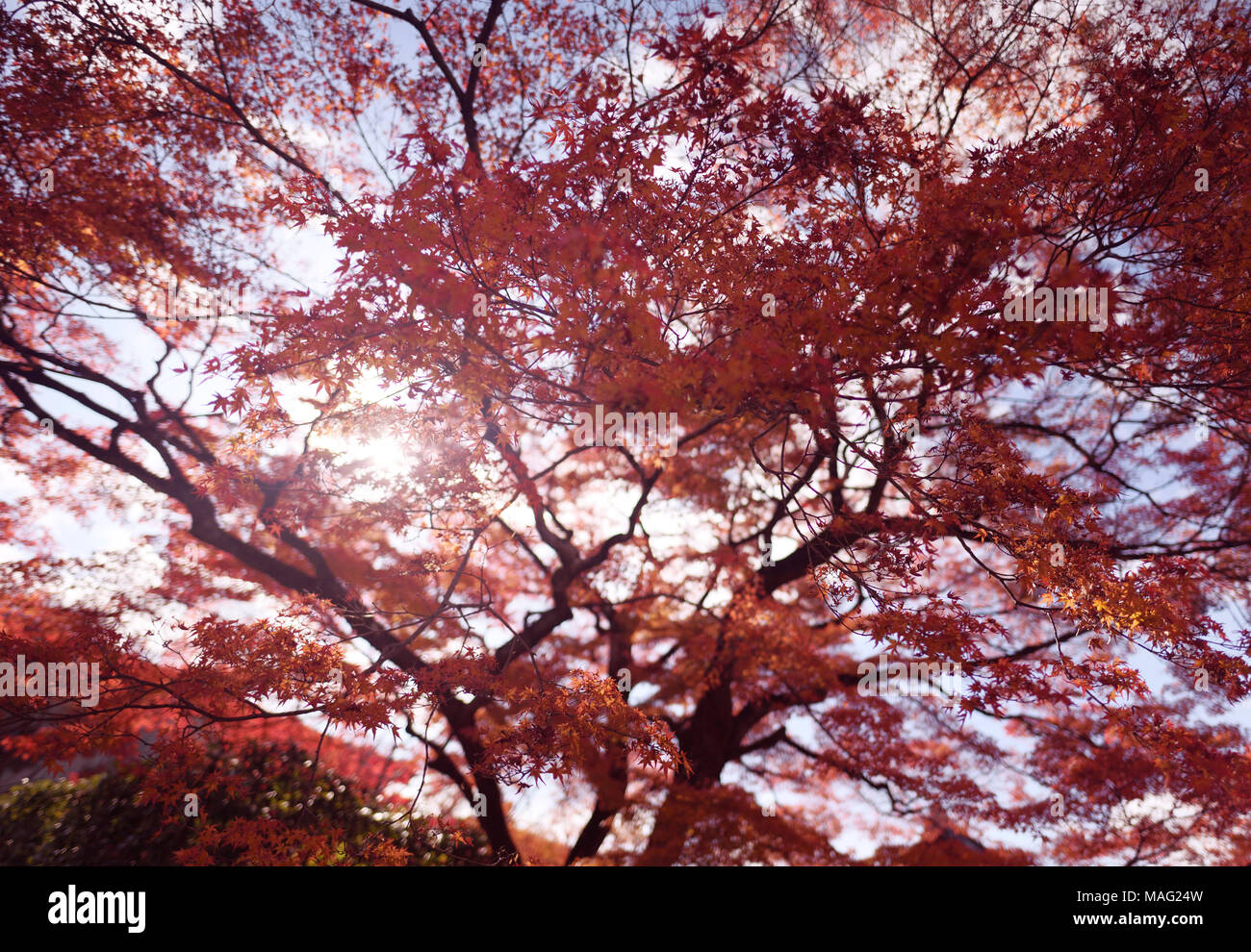 Sunlight shining through red leaves of a beautiful Japanese maple, Acer palmatum, in autumn scenery in Kyoto, Japan Stock Photo