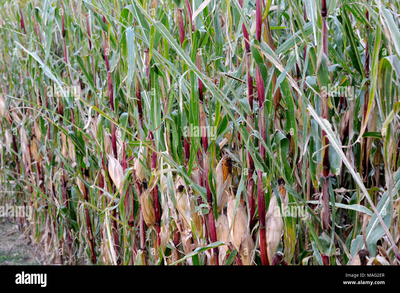 corn plants with red stems - Stock Image