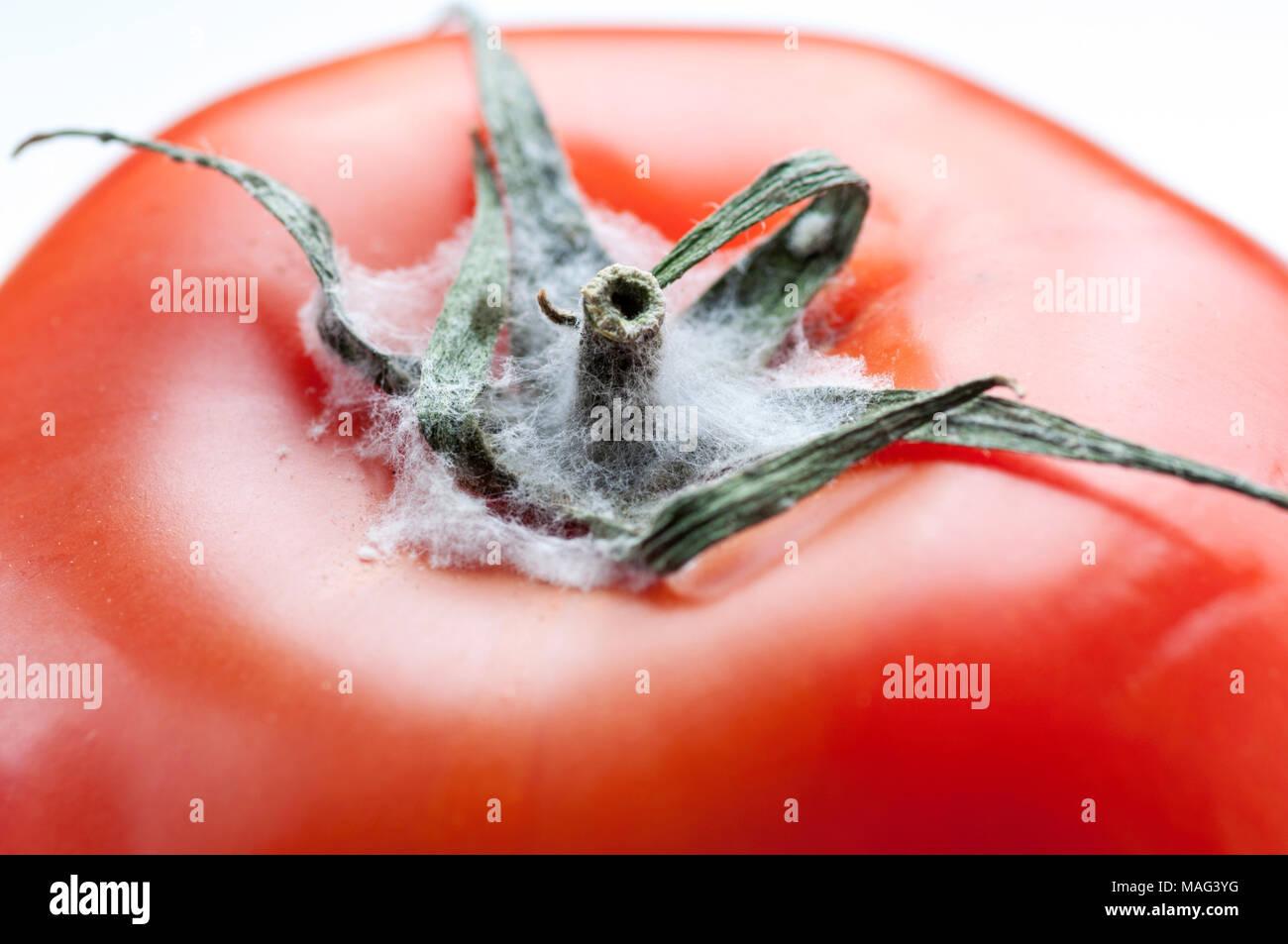 Close-up of Moldy Tomato against White Background - Stock Image