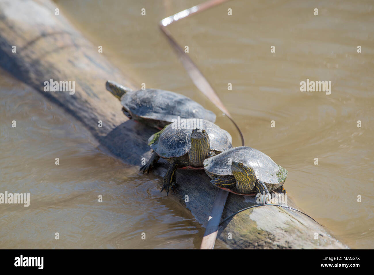Basking Western Painted Turtles, (Chrysemys pita bellii), Bosque del Apache National Wildlife Refuge, New Mexico,USA. - Stock Image