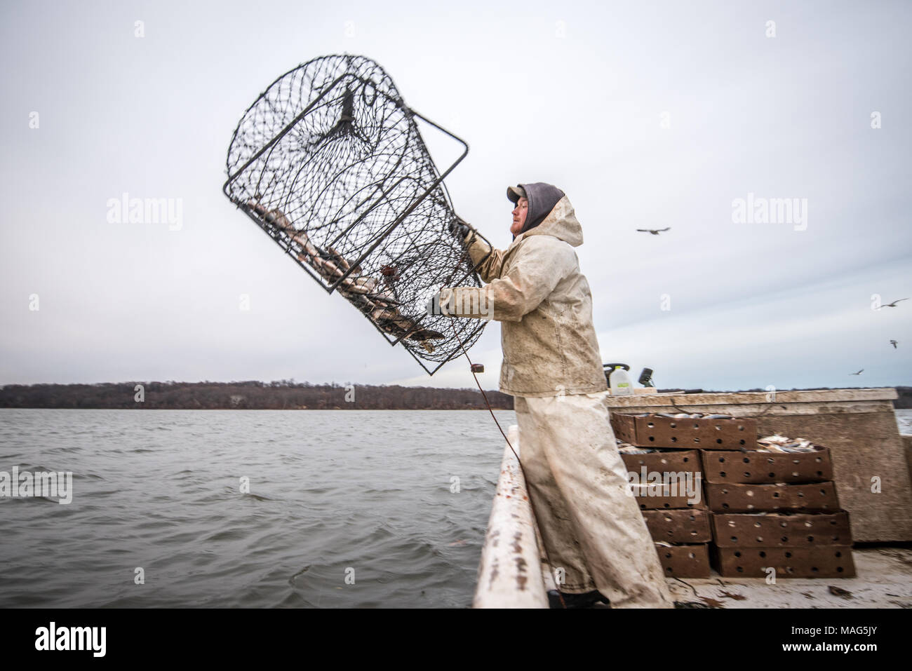 Waterman throwing out a hoop net filled with manhaden bait fish to catch blue catfish on the Potomac River near Fort Washington, Maryland - Stock Image