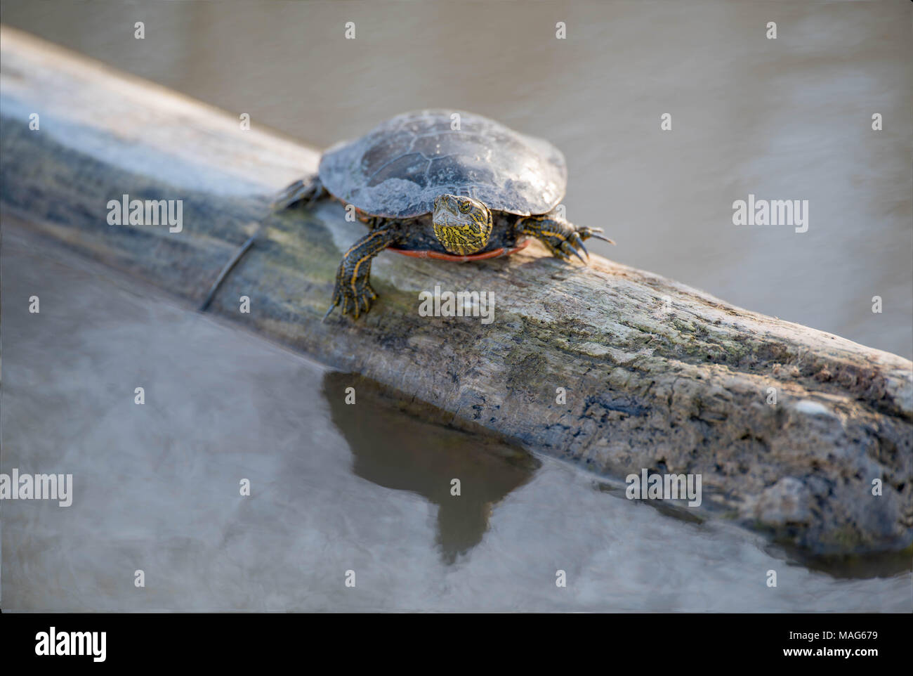 Basking Western painted Turtle, (Chrysemys pita bellii).  Bosque del Apache National Wildlife Refuge, New Mexico, USA. - Stock Image