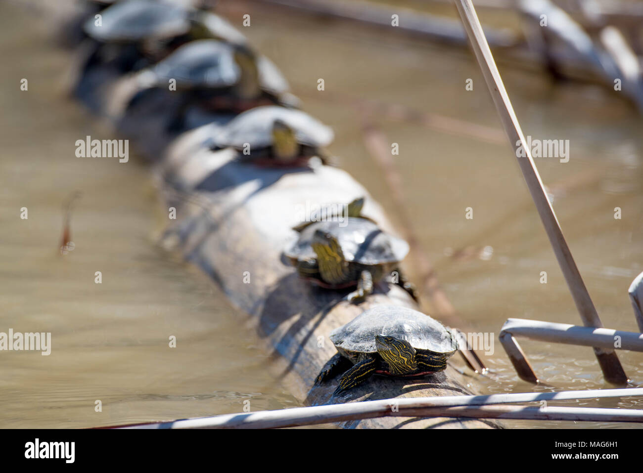Western Painted Turtles, (Chrysemys pita bellii), basking on a log.  Bosque del Apache National Wildlife Refuge, New Mexico, USA. - Stock Image