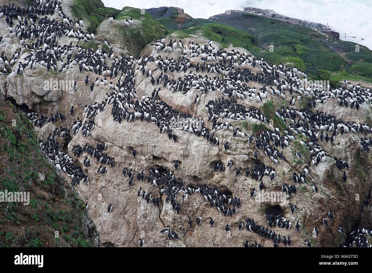 Common Murre (Uria aalge) gathered on rock,  Point Reyes National Seashore , California, USA - Stock Image