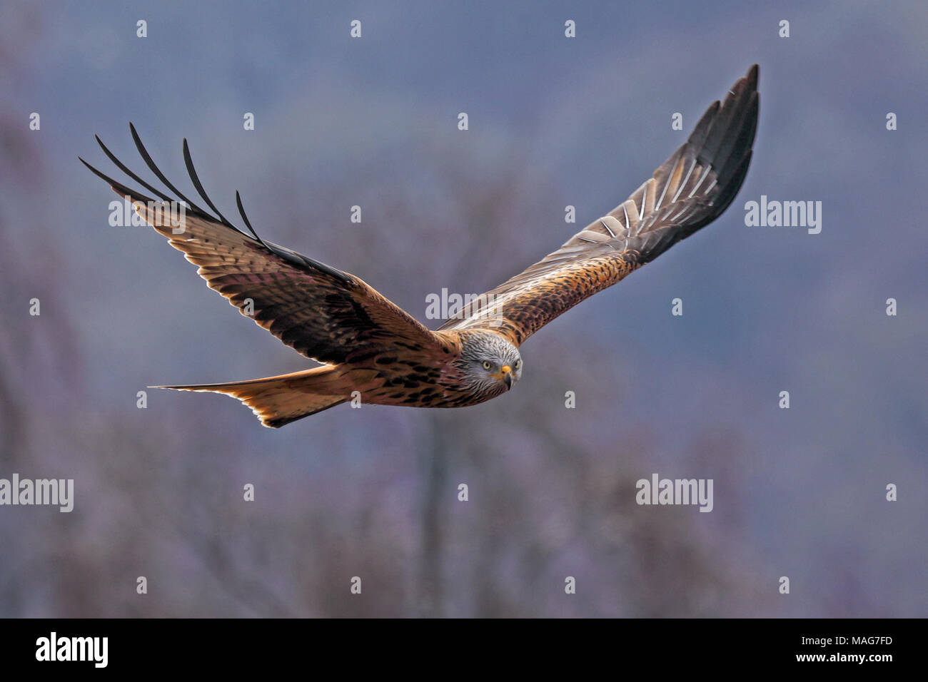 Red Kite Soaring, over the Chiltern Hills, England - Stock Image