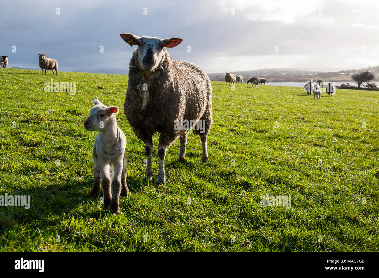 Ewe sheep and lamb in a Donegal field - Stock Image