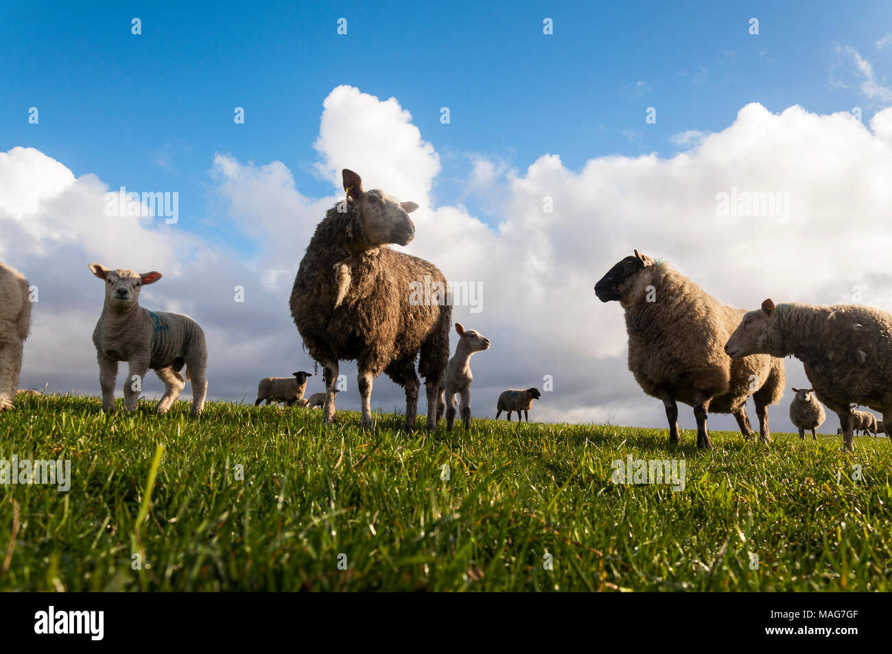 Ewe sheep and lambs in a Donegal field - Stock Image