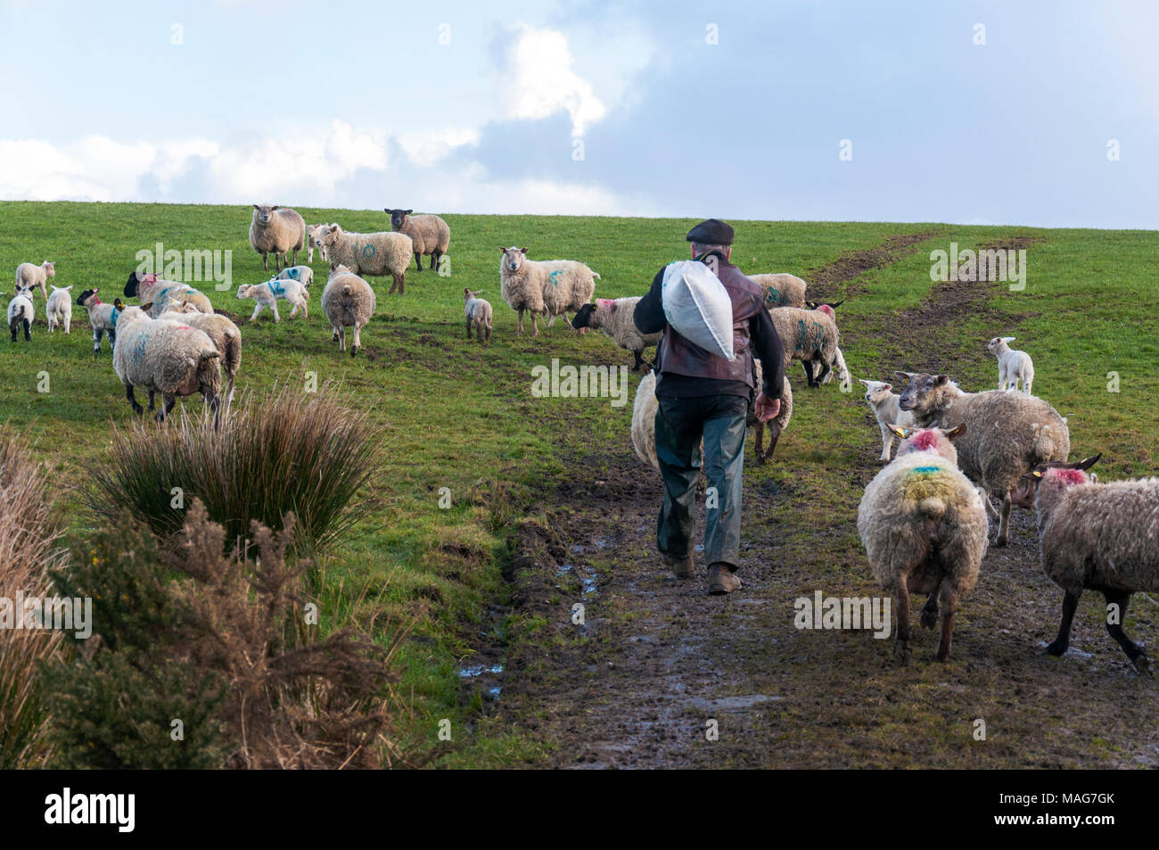 A farmer brings a bag of feed to his ewes sheep and lambs in a Donegal field - Stock Image
