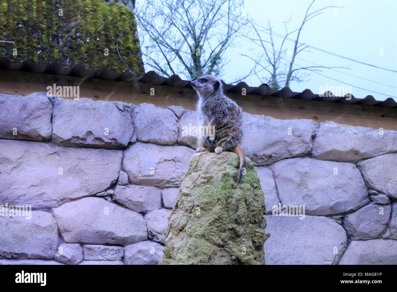 Meerkat at a tourist attraction - Stock Image