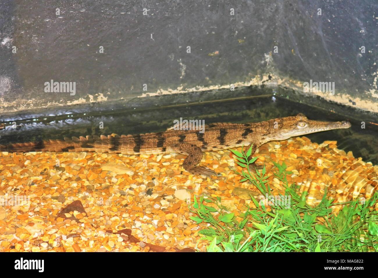 Small alligator / crocodile in water at tourist attraction - Stock Image